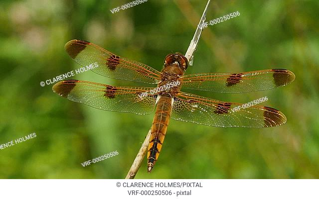 A male Painted Skimmer (Libellula semifasciata) dragonfly clings to a perch on vegetation in spring