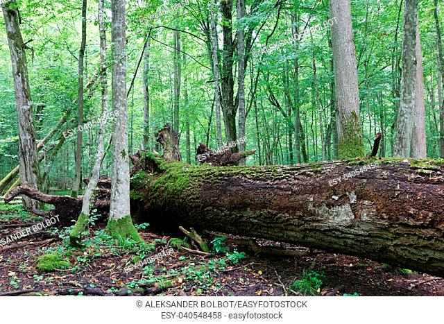 Fresh deciduous stand of Bialowieza Forest in summer with dead broken oak tree partly declined in foreground, Bialowieza Forest, Poland, Europe