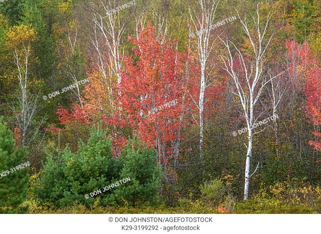 A mixed forest in autumn, Greater Sudbury (Walden), Ontario, Canada