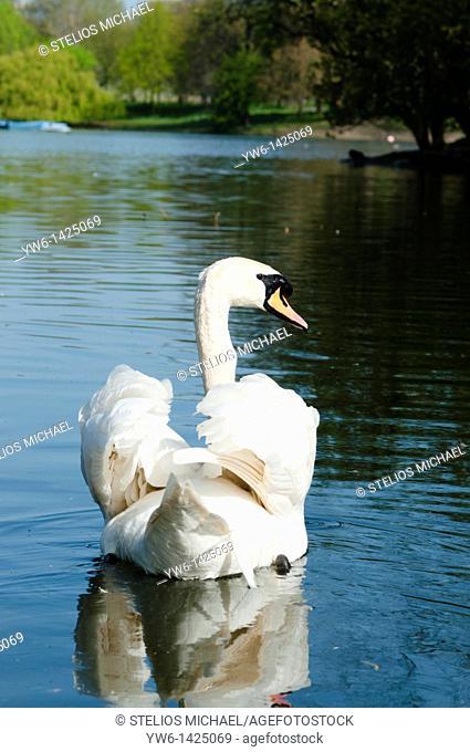 Mute Swan ,London,England