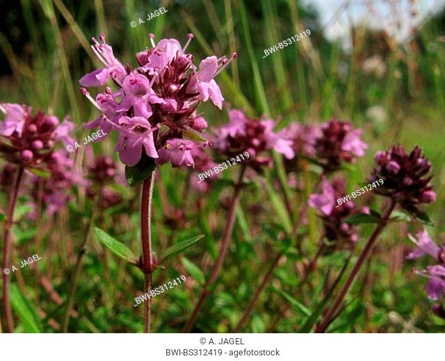 large thyme, large wild thyme, mother of thyme, lemmon thyme (Thymus pulegioides), blooming, Germany, North Rhine-Westphalia