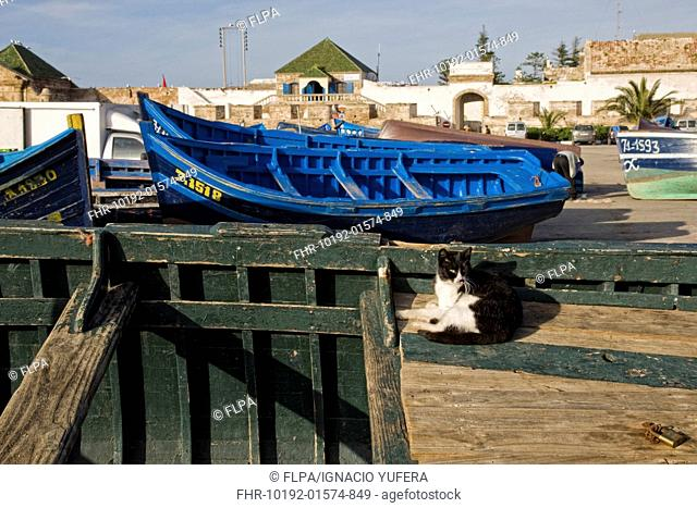 Domestic Cat, adult, resting on fishing boat in coastal city, Essaouira, Morocco, february