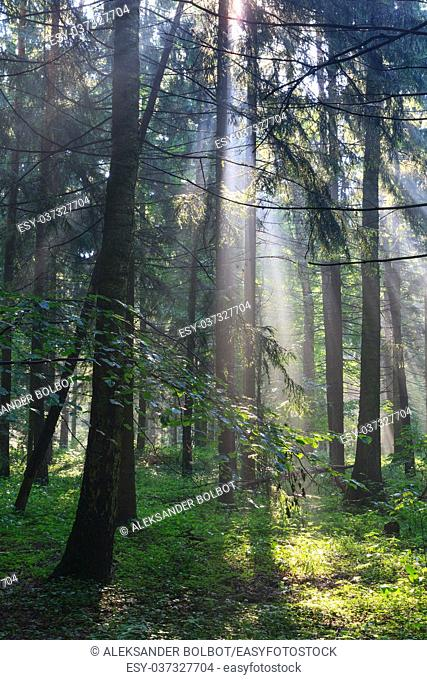 Sunbeam entering rich deciduous forest in misty morning rain after, Bialowieza Forest, Poland, Europe