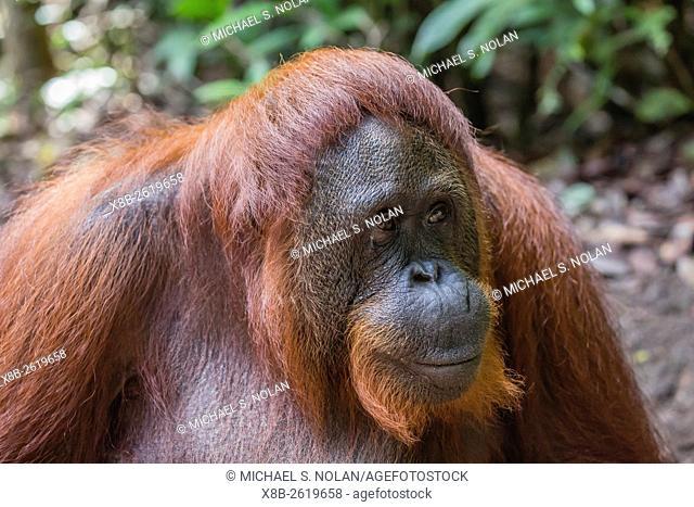 Reintroduced female orangutan, Pongo pygmaeus, Camp Leakey, Tanjung Puting National Park, Borneo, Indonesia