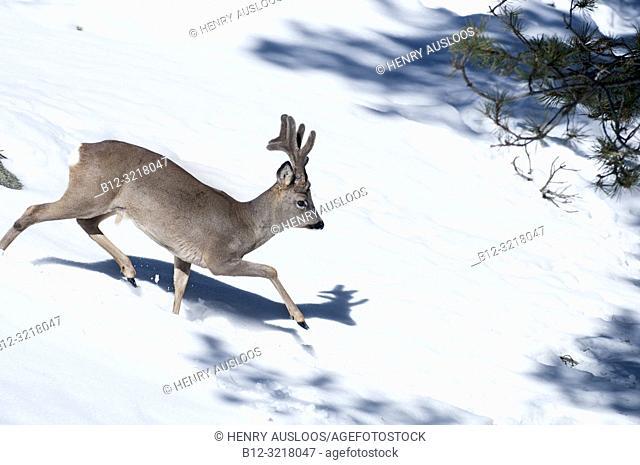Roe deer in the snow (Capreolus capreolus), France