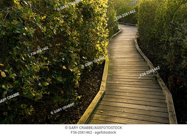 Wooden Boardwalk path walking trail through the El Moro Elfin Forest Natural Area, Los Osos, California