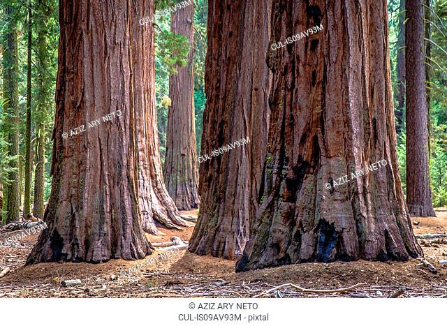 Cluster of giant redwood tree trunks, Yosemite national park, California, USA