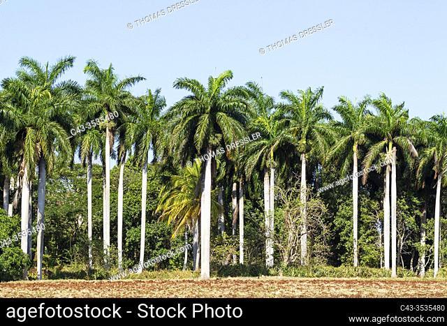 Cuban royal palms (Roystonea regia). Granma province, Cuba