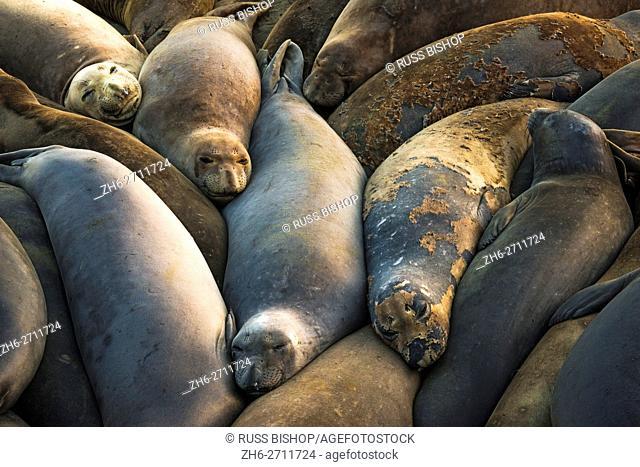 Northern elephant seals at Piedras Blancas elephant seal rookery, San Simeon, California USA