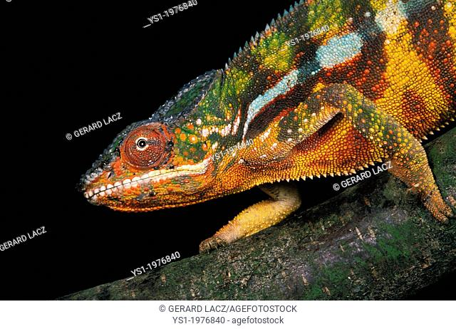 Jewelled Chameleon or Carpet Chameleon, furcifer lateralis, Adult standing on Branch