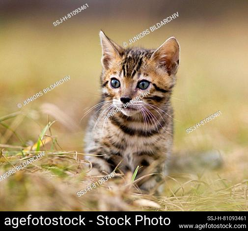 Bengal cat. Kitten walking on grass