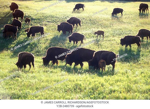 Bison herd in Wind Cave National Park in South Dakota