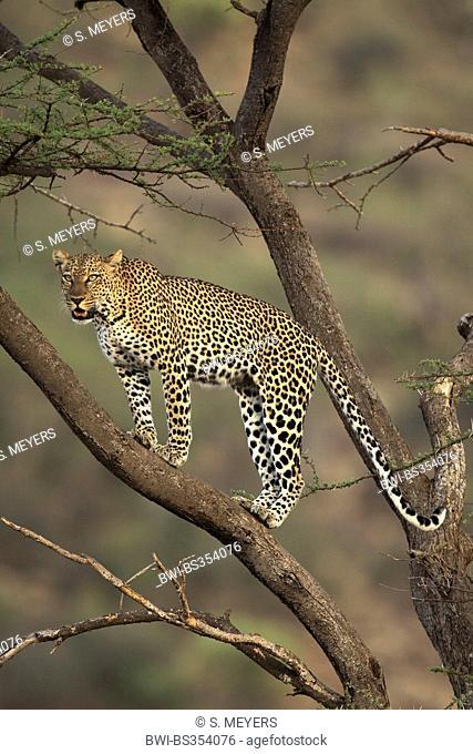 leopard (Panthera pardus), standing on a tree, Kenya, Samburu Game Reserve