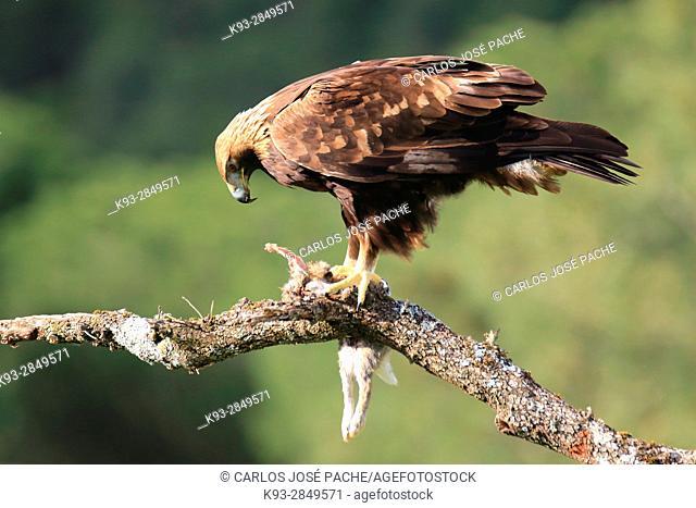 Golden eagle (Aquila chrysaetos) with prey, Parque Nacional de Monfragüe, Extremadura, Spain