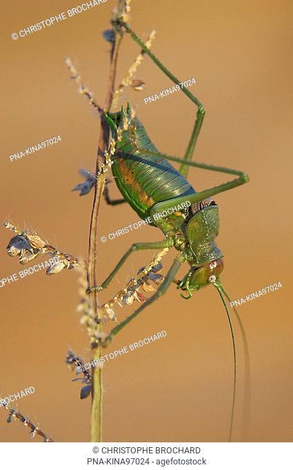 Rough-backed Bush-cricket Uromenus rugosicollis - Vendee, Pays de la Loire, France, Europe