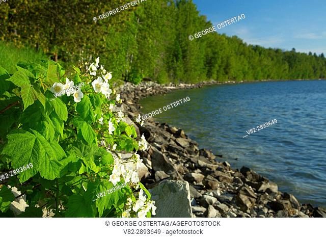 Lake Pend Oreille with thimbleberry bloom from Pend dâ. . Oreille Bay Trail, Sandpoint, Idaho