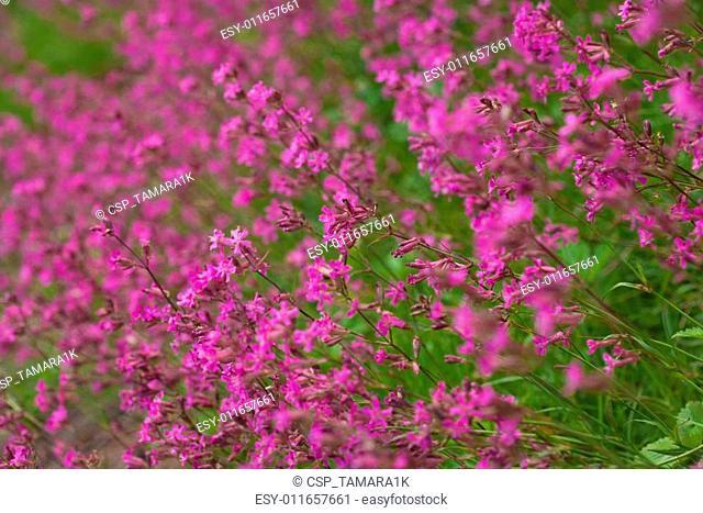 flowering red campion