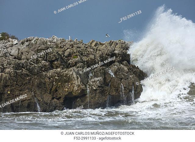 YELLOW LEGGED GULL (Larus michahellis), Cantabrian Sea, Islares, Castro Urdiales Municipality, Cantabria, Spain, Europe