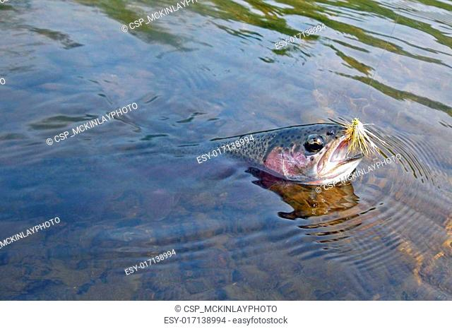 Landing Rainbow trout on fly