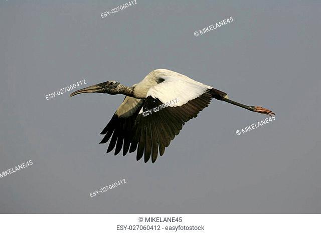 American wood-stork, Mycteria americana in flight in Brazil