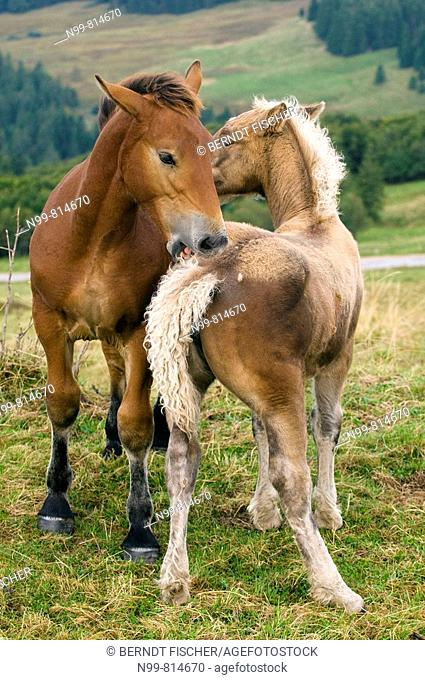 Haflinger horses, playing and mutual grooming, Vosges mountains near Hohneck, Alsace, France