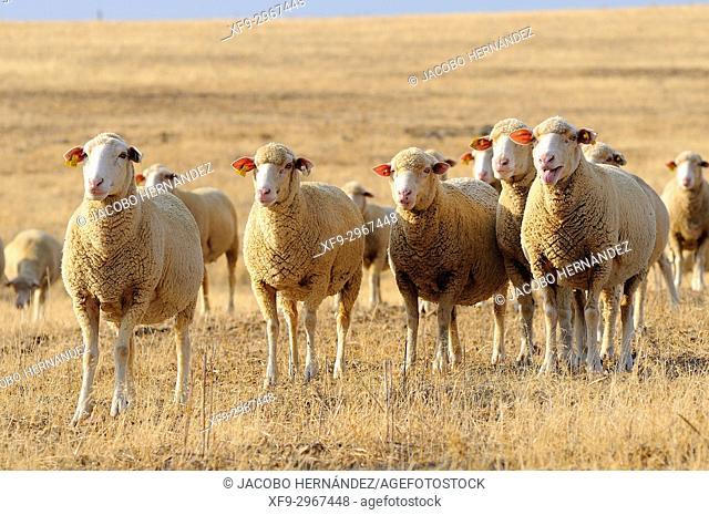 Herd of merino sheep. La Serena. Cabeza del buey. Badajoz province. Extremadura. Spain