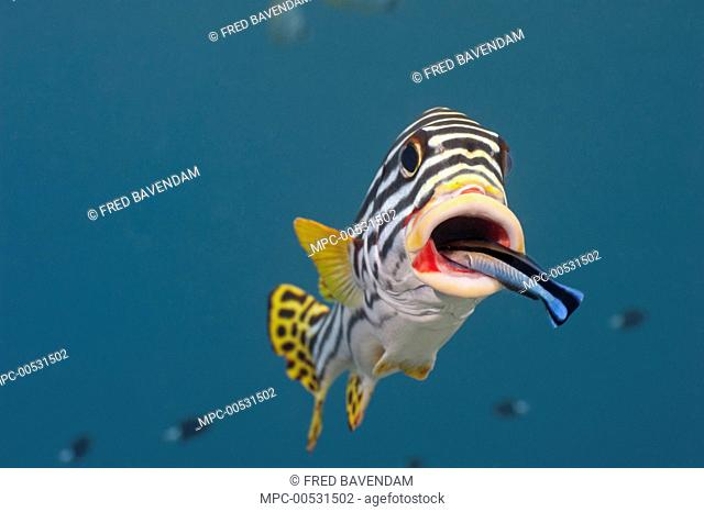 Indian Ocean Oriental Sweetlips (Plectorhinchus vittatus) being cleaned by Blue-streaked Cleaner Wrasse (Labroides dimidiatus), Bali, Indonesia