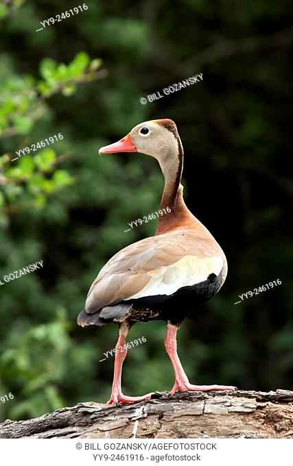 Black-Bellied Whistling-Duck - Camp Lula Sams - Brownsville, Texas USA