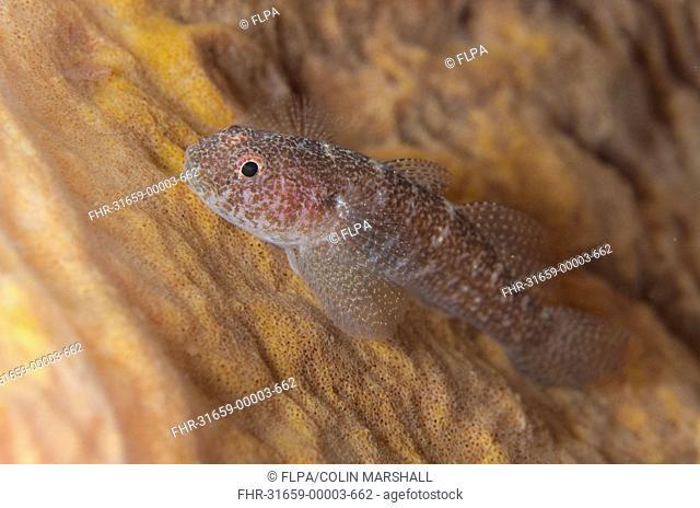 Barrel-sponge Ghostgoby (Pleurosicya labiata) adult, resting on Barrel Sponge (Xestospongia testudinaria), Padar Island, Komodo N.P