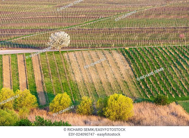 view of spring vineyards near Velke Bilovice, Czech Republic