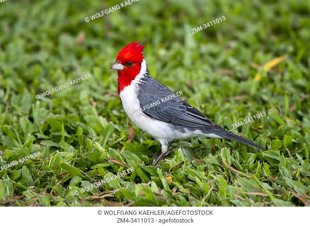 A red-crested cardinal (Paroaria coronata), an introduced songbird, on the Hawaiian Island of Kauai, Hawaii, USA
