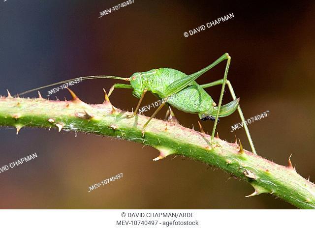 Speckled Bush Cricket - on stem (Leptophyes punctatissima)