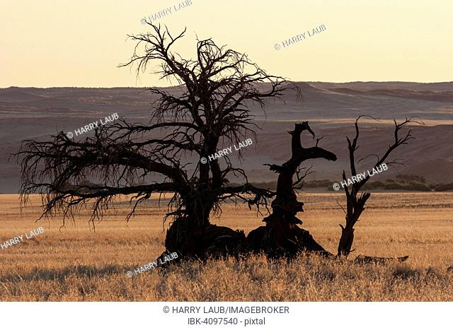 Dead Camel Thorn tree (Vachellia erioloba) at Sesriem Camp, Elim Dune at the back, evening light, Sesriem, Namibia