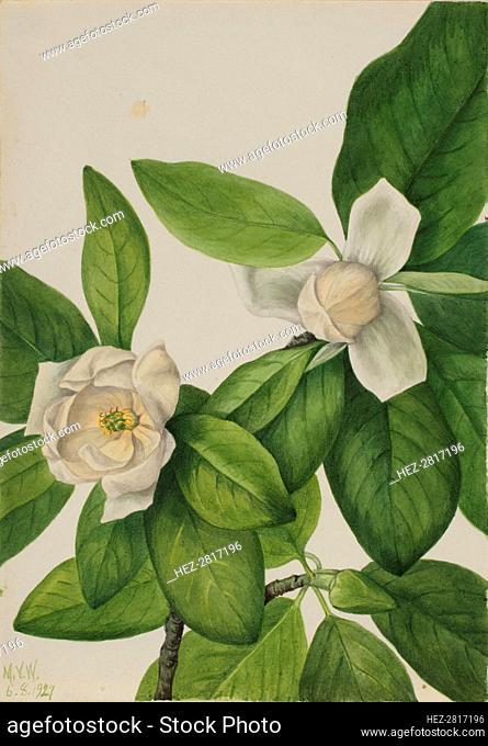 Sweetbay (Magnolia virginiana), 1927. Creator: Mary Vaux Walcott
