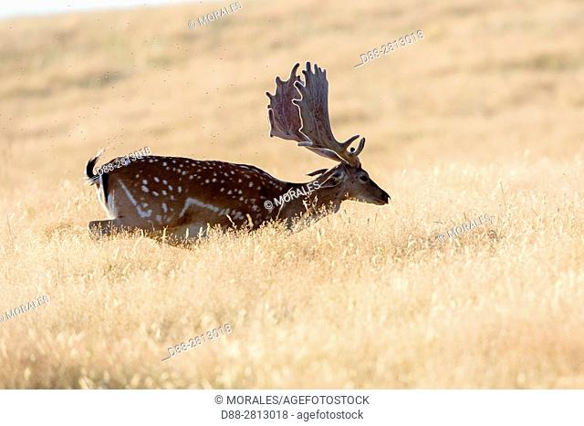 France, Haute Saone, Private park, Fallow Deer (Dama dama), buck, male
