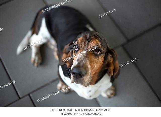 sitting basset hound