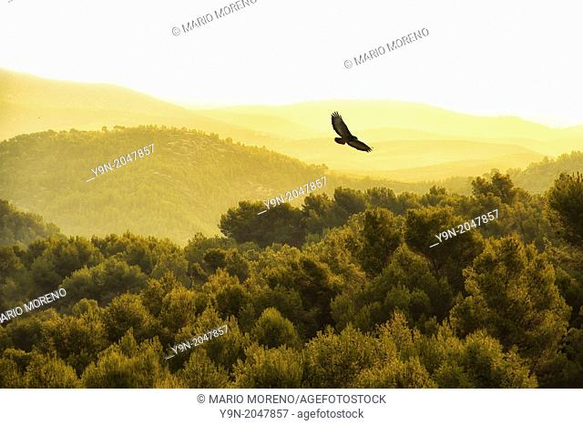 What appears to be a kind of buzzard flying over Spain's El Garraf Nature Reserve
