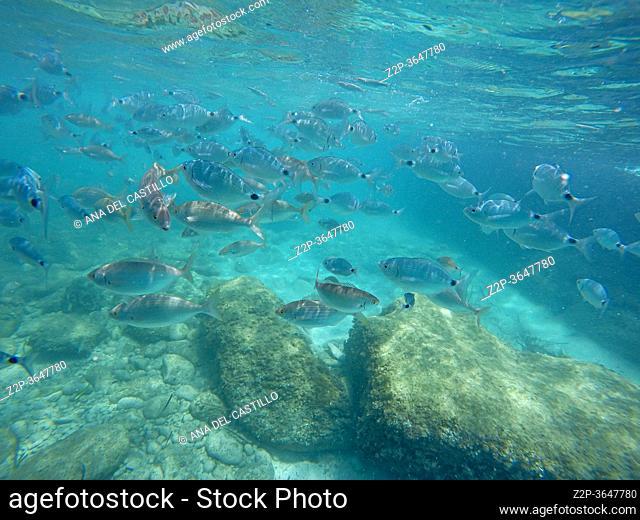 Oblada melanura school of fish and Neptune Grass known also as Posidonia Oceanica in Finestrat coast Alicante Spain