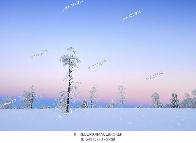 Trees with snow and hoarfrost, twilight, Kahler Asten, North Rhine-Westphalia, Germany