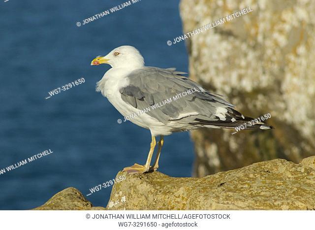 Yellow-legged gull ( Larus michahellis ) on the coast of Peniche Portugal