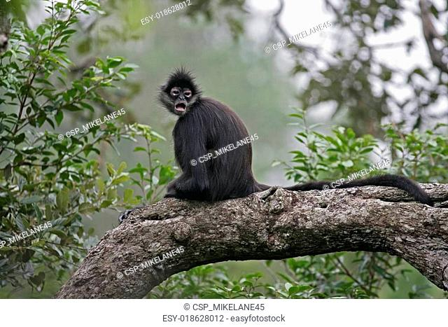 Central American Spider Monkey or Geoffroys spider monkey, Ateles geoffroyi, single mammal on branch
