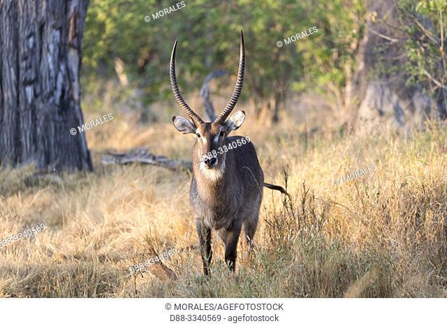 Africa, Southern Africa, Bostwana, Chobe National Park, Waterbuck (Kobus ellipsiprymnus)