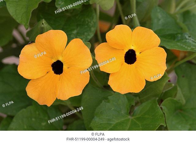 Black-eyed Susan Vine Thunbergia alata Flowering