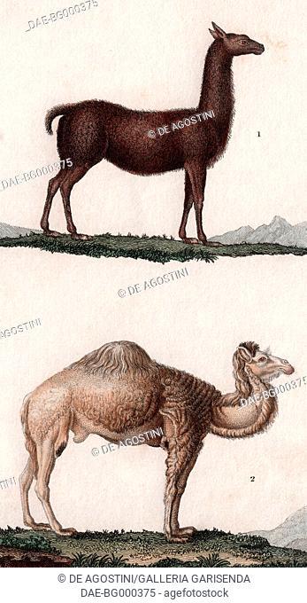1 Llama (Lama glama), 2 Dromedary (Camelus dromedarius), colour copper engraving, retouched in watercolour, 9x15 cm, from Dizionario delle scienze naturali...