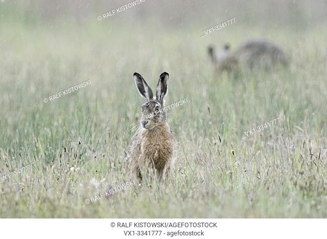 Brown Hare / European Hares / Feldhase ( Lepus europaeus ), two hares on a rainy day, sitting in a meadow in rain, wildife, Europe