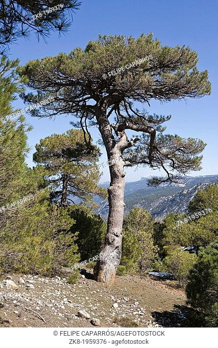 Pinus halepensis or carrasqueño, original pine from South to West Asia Europe can reach fifteen meters high and seven meters in width, Sierra de Cazorla