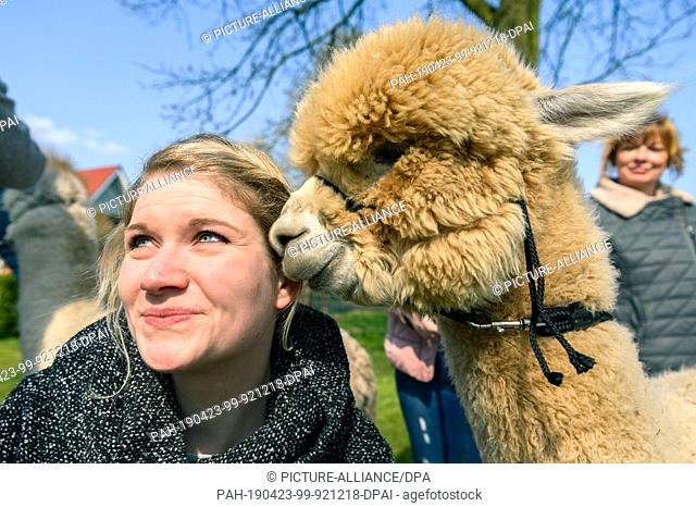 14 April 2019, Lower Saxony, Drantum: An alpaca touches Andrea's face with its snout. Andrea has taken a walk with the animal before