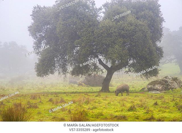 Meadow and Iberian pigs in the mist. Valle de los Pedroches, Cordoba province, Andalucia, Spain