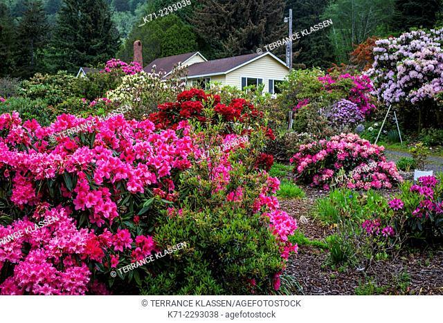 A rhododendron nursery near Tillamook, Oregon, USA