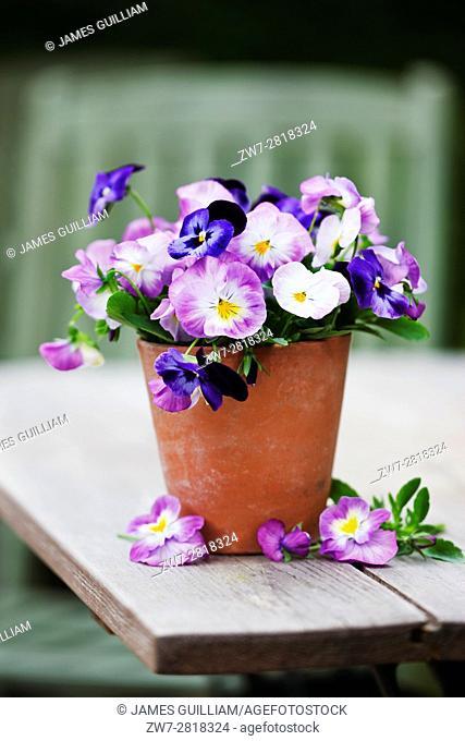 Viola flowers in terracotta plant pot